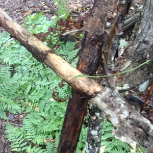 Securing cross branches with tough, long grass
