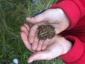 'Bufo Americanus', the American Toad. Don't bother licking.